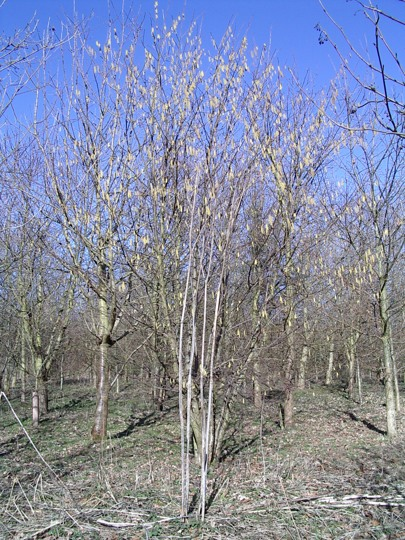 Centenary Wood